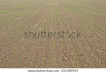 winter wheat on a field - stock photo