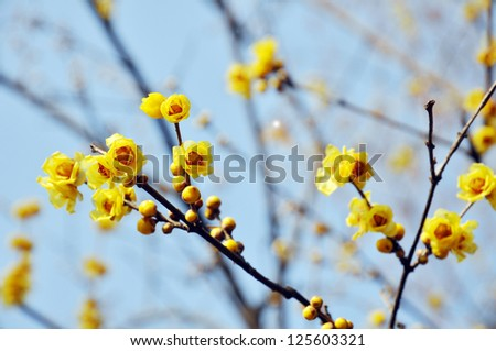 wintersweet of yellow color on twigs in winter.
