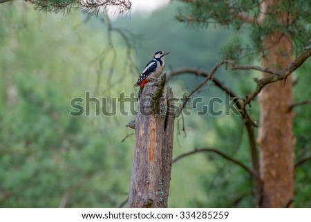 Woodpecker sitting on a old pine - stock photo