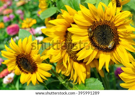 working bees on the blooming sunflower in the garden - stock photo