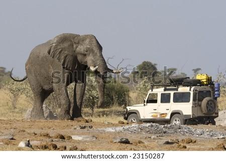 4x4 car near a big African Elephant in Botswana. - stock photo