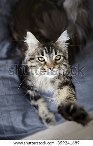 1 year old female Maine Coon stretching on a bed