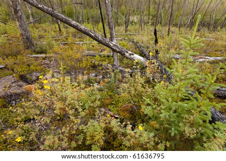 12 years after the forest fire, new trees are growing among charred logs. - stock photo