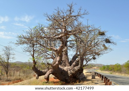 3000 years oldest baobab in African continent.South Africa - stock photo