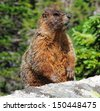 yellow-bellied  marmot in colorado       - stock photo