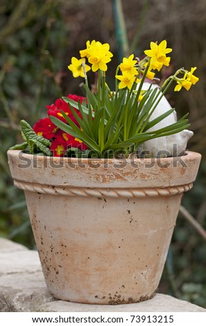 yellow daffodil ( Narcissus ) flowers  in a terracotta flowerpot. - stock photo