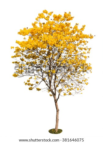 yellow flower tree isolated on white background, clipping path