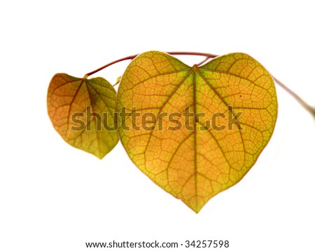 Yellow leaves on white background isolated