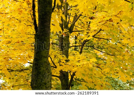 yellow maple leaves on a tree trunk. Autumn