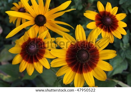 Yellow red chrysanthemum flowers on a green background
