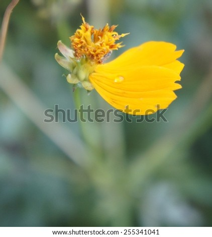 yellow zinnia, floral background - stock photo
