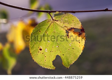 yellowing leaves on the trees linden growing in the city park, autumn season, a small DOF,
