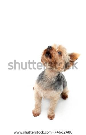 """Yorkie"" Terrier - stock photo"