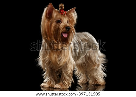 Yorkshire Terrier Dog Standing on Mirror, groomed hair, isolated on Black background