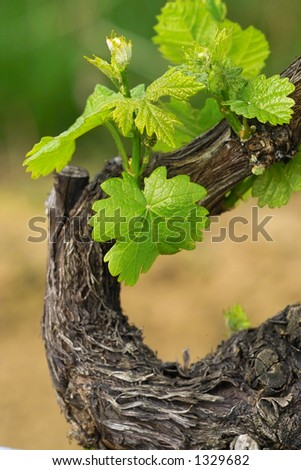 young grapes in wineyards of southen Germany region Rheinland Pfalz - stock photo