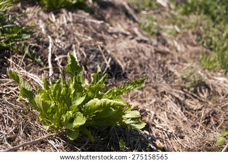 Young green horseradish in springtime - stock photo