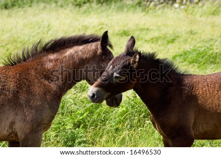 2 young Horses (Equus caballus) in a field, hugging. - stock photo
