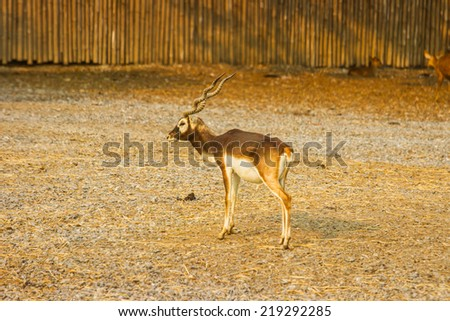 young impala antelope standing. - stock photo