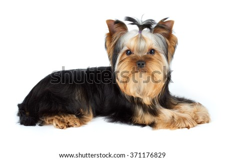 Young male of Yorkshire Terrier over white                               - stock photo