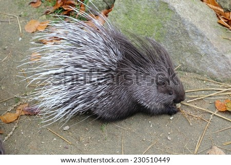 young porcupine/ porcupine - stock photo