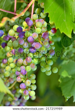 young unripe grapes in garden - stock photo