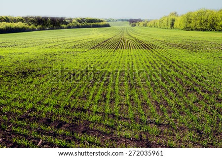 young wheat field on sunny day. Soft focus. - stock photo
