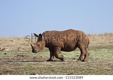 Young White Rhinocerus; Ceratotherium simum - stock photo