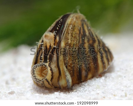 Zebra mussel (Dreissena polymorpha) in pond. Macro - stock photo