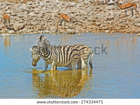 2 Zebras cooling down in a waterhole in Etosha with blurred springbok in the background - stock photo