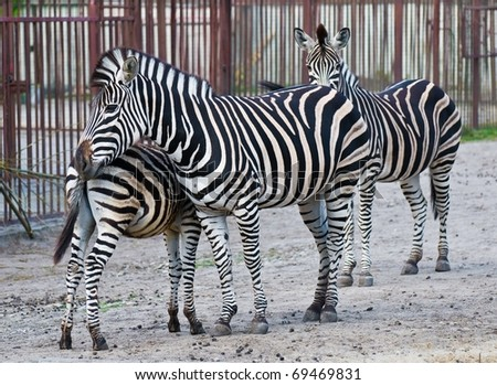 3 zebras family - stock photo