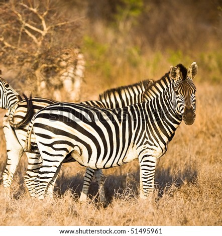 Zebras in Kruger National Park, South Africa - stock photo