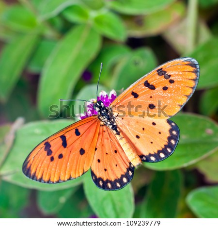 A Acraea Butterfly on Globe Amaranth Flower - stock photo