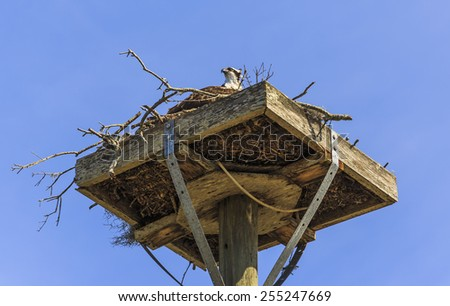A adult Osprey sits on a nest made on a man made platform with a blue sky as the background. - stock photo