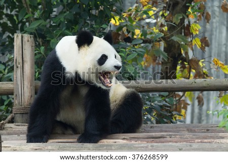A adult panda is roaring.