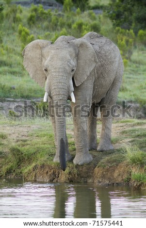 A African elephant takes a drink after the heat of the day. - stock photo