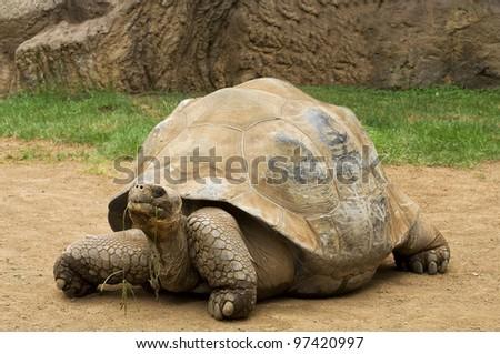 A  aldabra giant tortoise (Aldabrachelys gigantea) chewing grass - stock photo