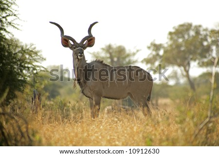 A amle Kudu in the Kruger National Park, South Africa - stock photo