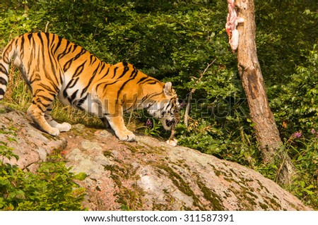 A amur, siberian, tiger feeding on its prey.