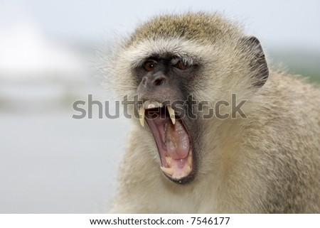 A angry baboon with big teeth - stock photo