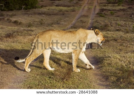 A angry Lioness crosses the reserve road in front of me - stock photo