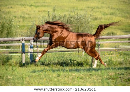 A Arab stallion horse leaping into the air with a green grassy background - stock photo
