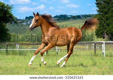 a arabian chestnut horse or filly cantering in the field with trees and blue sky in the background - stock photo