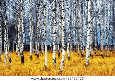 A autumn birch grove among orange grass - stock photo