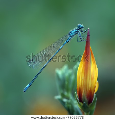 A Azure Damselfly (Coenagrion Puella) on a beautiful flower - stock photo