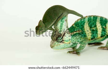 A babe green chameleon stalks on the head of the mature chameleon (chamaeleonidae)