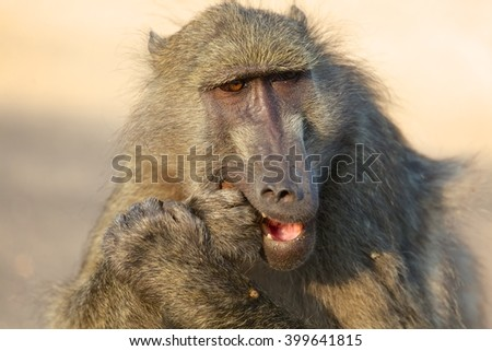 a baboon in the kruger national park south africa - stock photo