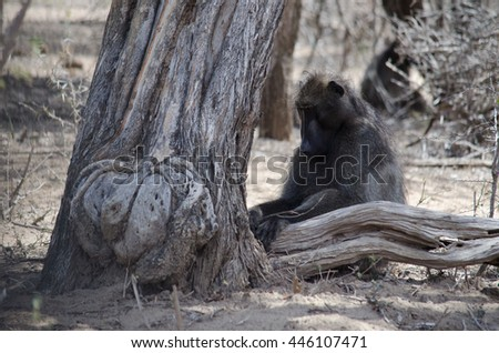 a baboon resting from the sun under the shade of a tree - stock photo
