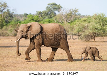 A baby african elephant calf following its mother - stock photo