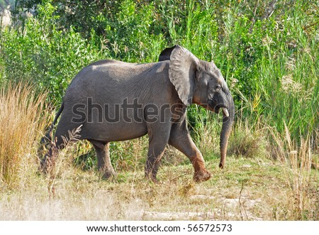 A baby African Elephant in the Kruger Park, South Africa.