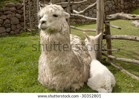 A Baby Alpaca only five days old and its mother in Peru, South America - stock photo